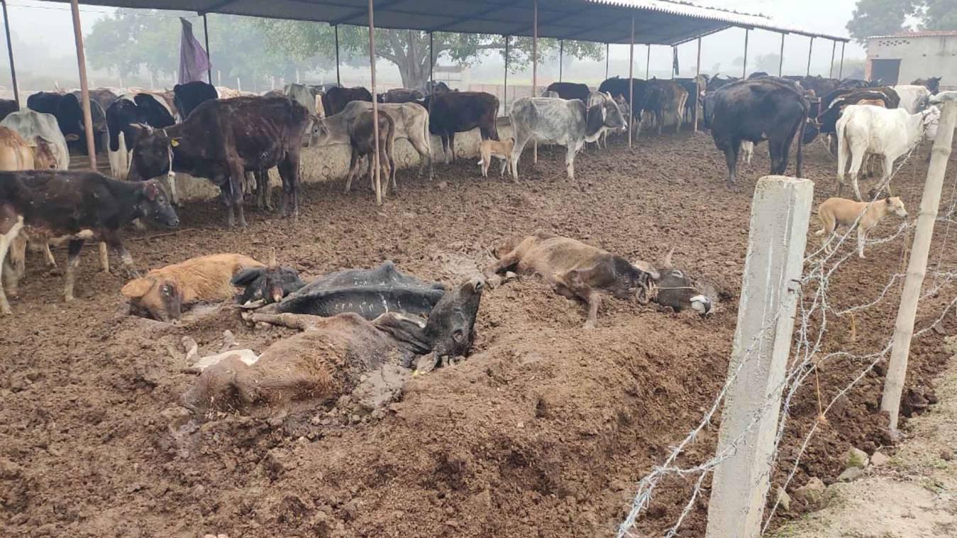 वाराणसी: सीएम योगी के गौ प्रेम पर भारी अधिकारियों की लापरवाही, संजोई गौशाले में एक दर्जन गायों की मौत