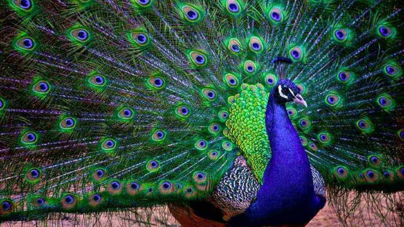 राष्ट्रीय पक्षी मोर की मौतों से प्रशासन में मचा हड़कंप