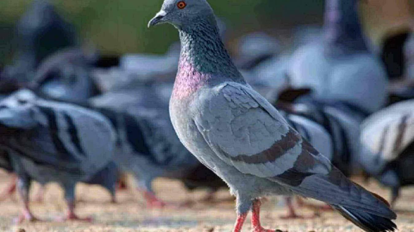 कबूतर के खिलाफ दर्ज हुई एफआईआर, जाने क्या है मासूम परिंदे का गुनाह
